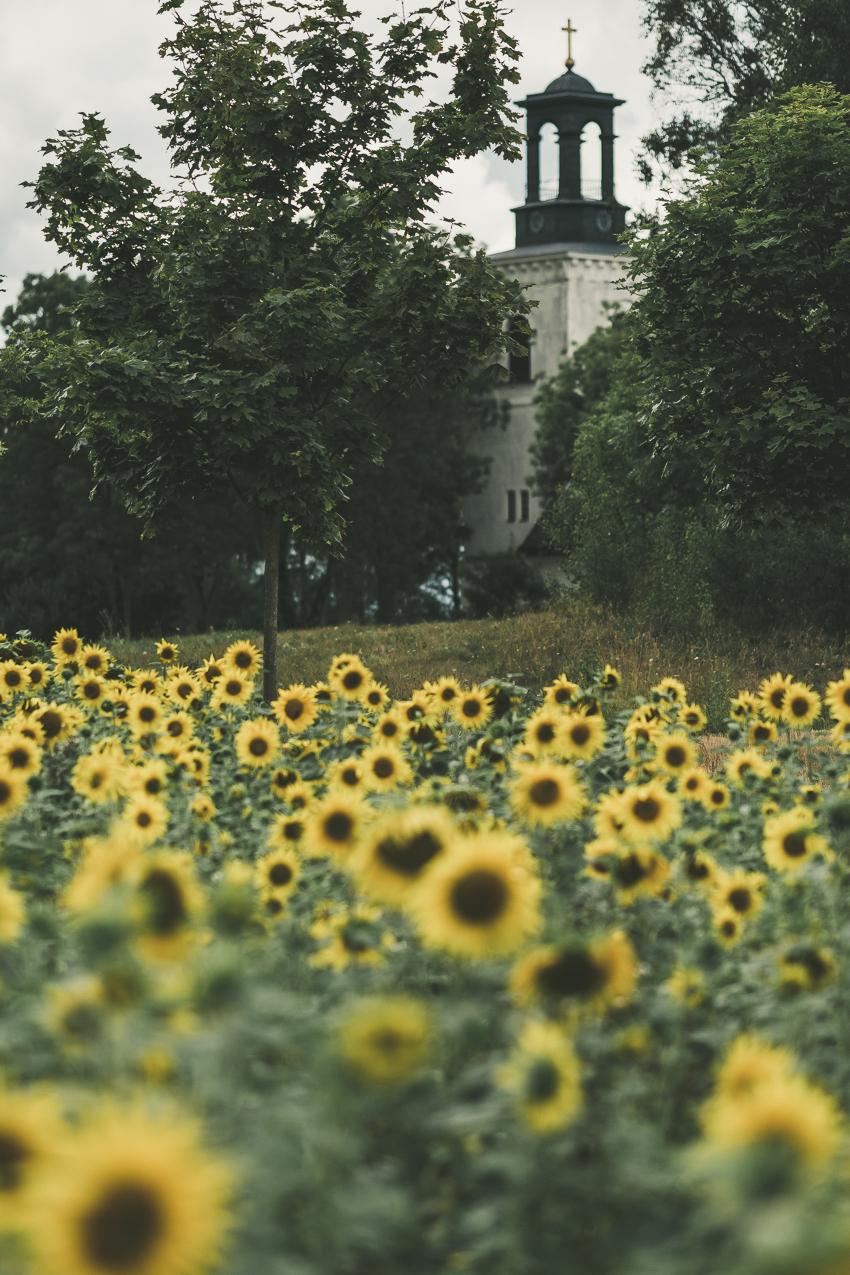 160819_hus30_fotograf_ulrica_hallen_fujifilm_solrosor_xpro2_stillife_lifestyle_sunflowers_autumn-9218