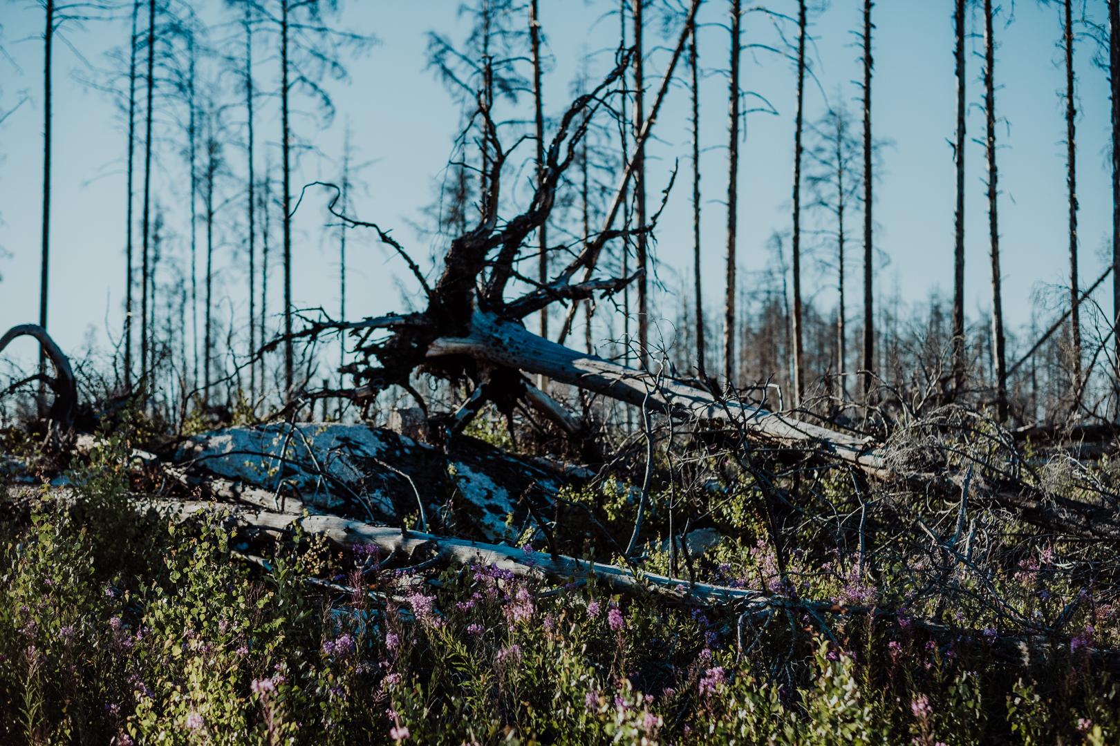 Vandra i Hälleskogsbrännan efter den stora västmanlandsbranden 2014 : Svenska resebloggar : Nordic TB : Fujifilm Nordic : Kvinnliga äventyrare
